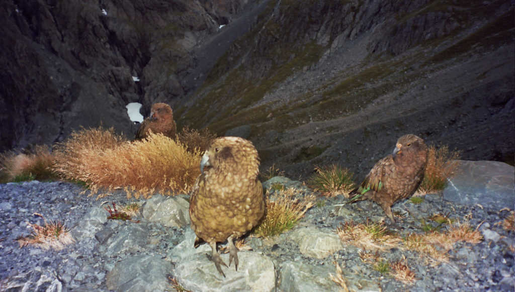 Kea. Braker Hut. Arthur's Pass Nationalpark