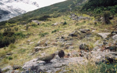 Keas am Rob Roy Gletscher