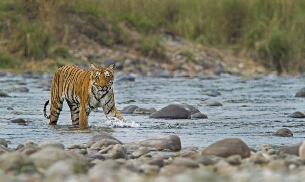 Tiger im Corbett National Park, von Anuradha Marwah / Shutterstock